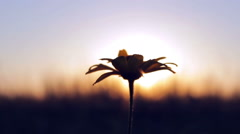 Flower on background sunset Stock Footage