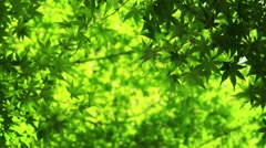 Japanese maple tree moving in the wind, natural background. 4K resolution. Stock Footage