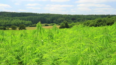 Cannabis field in the Belgian countryside Stock Footage
