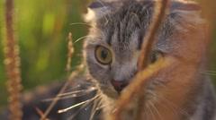 Lop-eared cat outside outside in grass Stock Footage