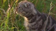 Funny lop-eared cat outside outside Stock Footage