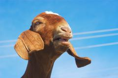 Brown goat bleating on blue sky Stock Photos