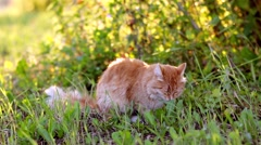 Pussy In The Grass, summertime Stock Footage
