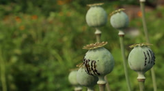 Black gum resin latex drops on the poppy heads Stock Footage