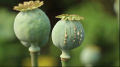 Latex drops on the colorful poppy seed pod Stock Footage