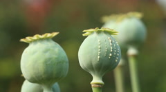 Scratched poppy head produces white opium latex close up Stock Footage