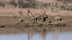 Impala grazing on river bank. Stock Footage