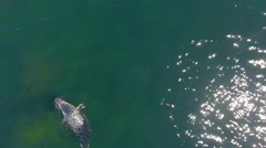 Aerial shot grey seal swimming in ocean Stock Footage