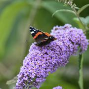 Beautiful image of Red Admiral butterfly Vanessa Atalanta on vibrant purple f Stock Photos