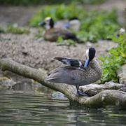 Lovely Puna Teal anus puna bird duck preening itself on riverbank Stock Photos