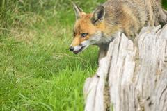 Stunning image of red fox vulpes vulpes in lush Summer countryside landscape Kuvituskuvat
