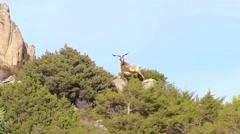 Italian Goat Stock Footage