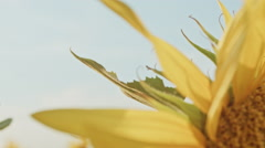 Sunflower With Sitting Ladybug In Sun Lights Field Stock Footage