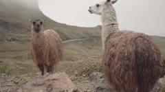 Llamas on a foggy day on the Ecuadorian moors Stock Footage