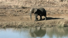 African Elephant walking along river bank. Stock Footage