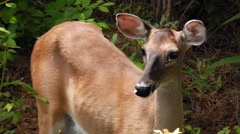Close up white tail doe face Stock Footage