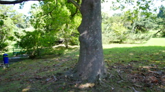 Large platan tree in a Park Stock Footage