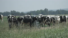 A Herd of Cows in a Pasture in 4K Stock Footage