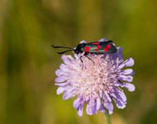 Six-spot Burnet Moth on Field Scabious Flower Stock Photos