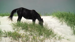 Wild black mare grazes seagrass on dunes Stock Footage