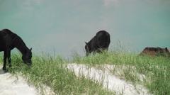 Wild horses grazing sea grass on dunes Stock Footage