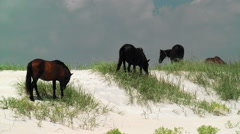 Zoom out wild horses grazing beach dunes Stock Footage