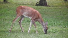 Close up white tail deer doe Stock Footage