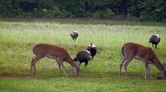 Wild turkey take over wild deer Stock Footage