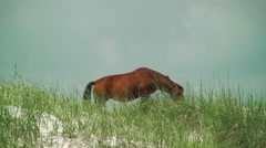 Wild horse grazing on sea grass growing on dunes Stock Footage