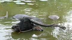 Black buffalo in the pond Stock Footage