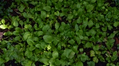 Green leaf mustard in growth at vegetable garden Stock Footage