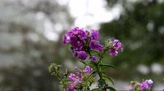 Beautiful Phlox flowers with rain drops blooming in the rainy season Stock Footage