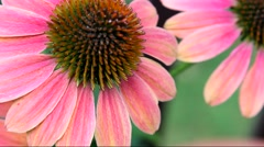 Echinacea flowers filling the frame Stock Footage