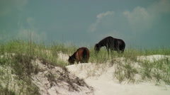 Two wild horses grazing sea grass a top sand dune Stock Footage
