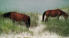 Pan wild stallion and mares grazing beach dunes Stock Footage