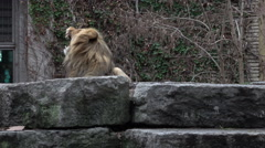 Big lion having a big yawn in the zoo Stock Footage
