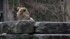 Big lion having a big yawn in the zoo Stock Footage