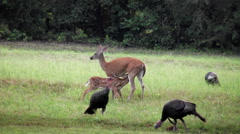 Fawn nurses reluctant white tail doe with turkeys Stock Footage
