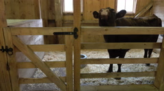 Cow mooing in barn with audio Stock Footage