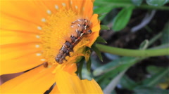 Caterpillar on a bright yellow flower Stock Footage