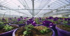 4K Rows of many flowering plants growing in a large commercial nursery Stock Footage