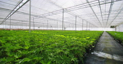 4K Rows of many young plants growing in a large commercial nursery greenhouse Stock Footage