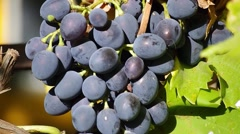 Aromatic black grapes Stock Footage