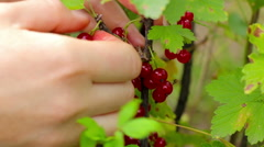Harvesting. Young woman picking and eats currant berries Stock Footage