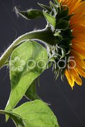 Sunflower in studio 3 Stock Photos