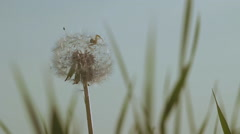 Dandelion with spider nature background shot close-up Stock Footage