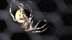 Large yellow spider sitting on web at night closeup Stock Footage