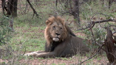 African Lion (Panthera leo) lock shot in high angle Stock Footage