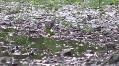 Mourning dove drinking water on rivers edge Stock Footage