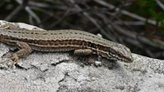Common wall lizard (Podarcis muralis) basking in the sun and walking away Stock Footage